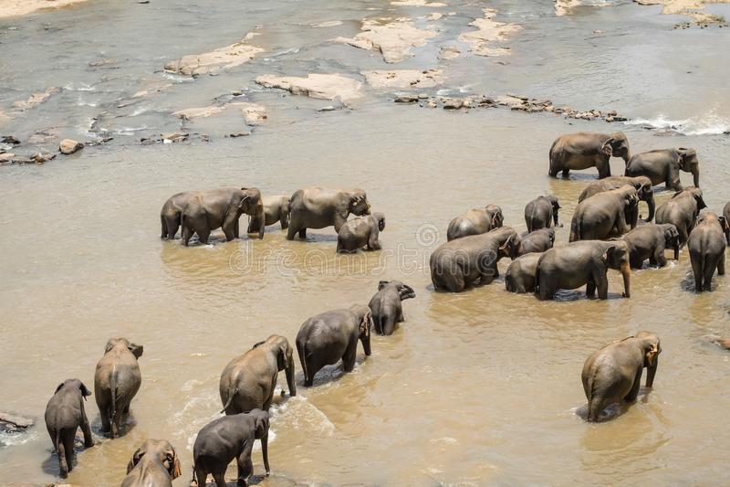 Elefantes asiáticos grandes Natureza selvagem de Sri Lanka foto de stock royalty free