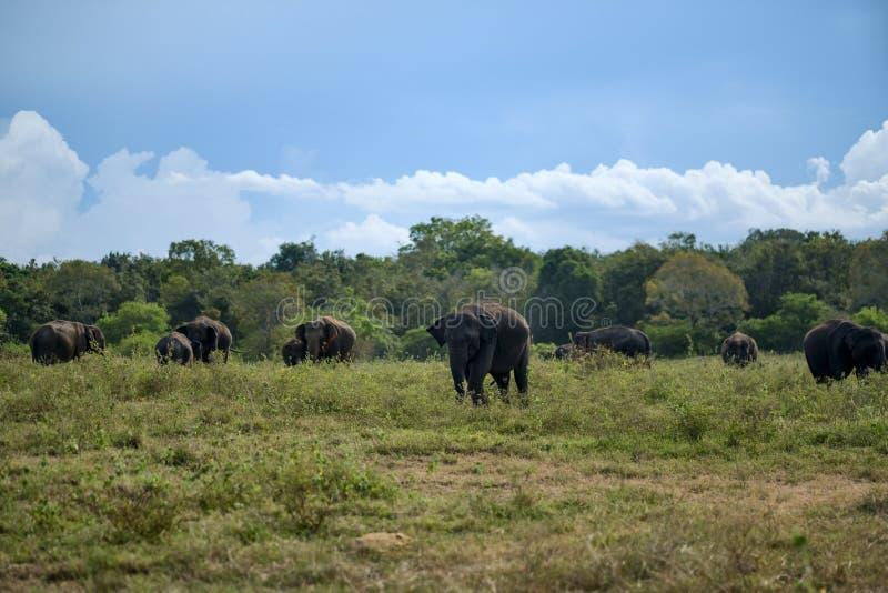 Elefantes asiáticos no campo verde em Sri Lanka fotografia de stock