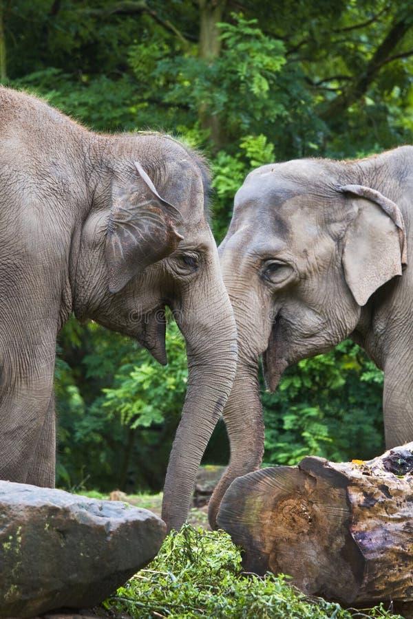 Elefantes asiáticos o Elephas femeninos foto de archivo libre de regalías