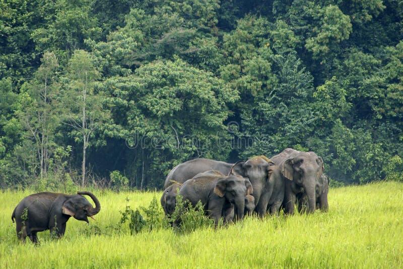 Elefantes Asia fotos de archivo libres de regalías