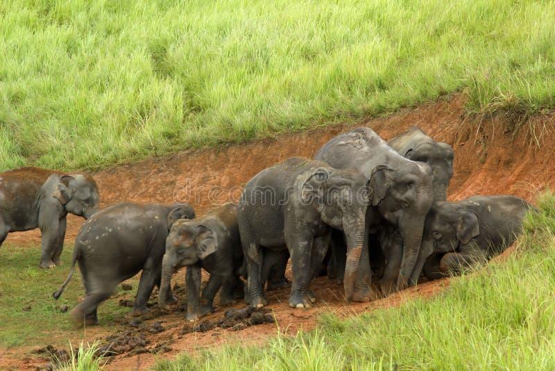 Elefantes Asia imágenes de archivo libres de regalías