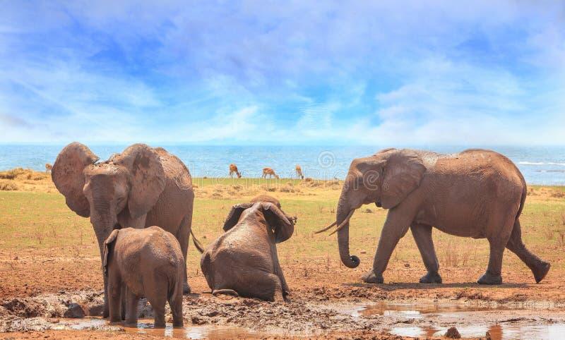 Elefantes brincalhão que chafurdam na lama contra um pálido - céu nebuloso azul na borda do lago Kariba, Zimbabwe fotografia de stock