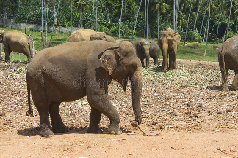 Elefantes cingaleses foto de stock