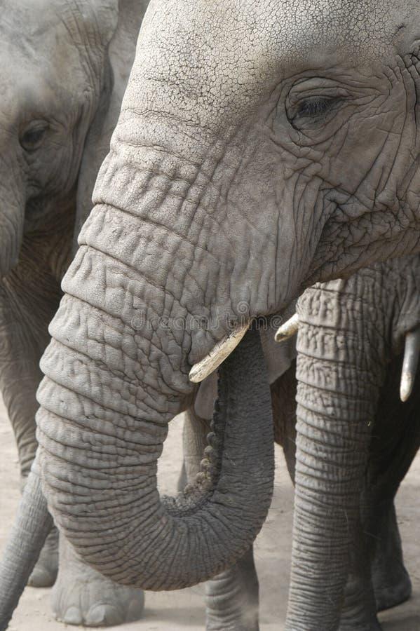Elefantes de África (africana del Loxodonta) imagenes de archivo