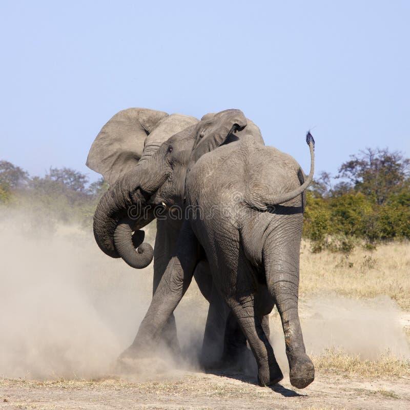 Elefantes de Bull que lutam - Botswana fotos de stock royalty free