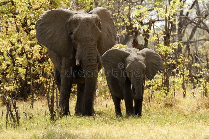 Elefantes de Bush do africano imagens de stock