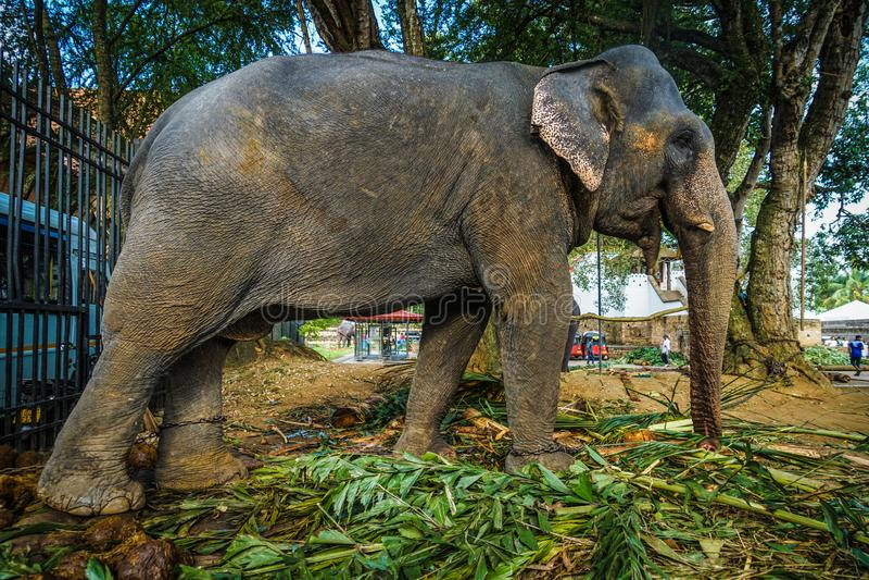 Elefantes de doces de Sri Lanka fotos de stock royalty free