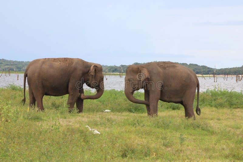 Elefantes 1 de Kaudulla imagem de stock royalty free