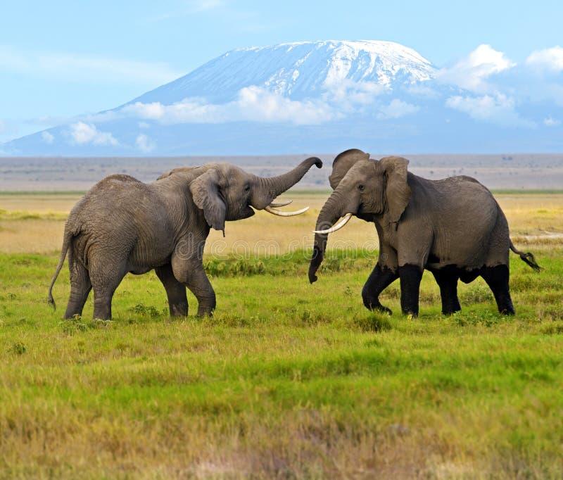 Elefantes de Kilimanjaro fotos de stock royalty free