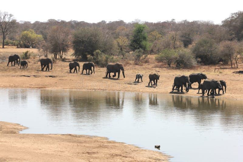 Elefantes de Krugar foto de stock