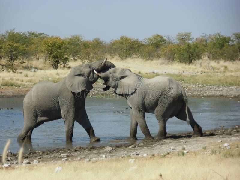 Elefantes de la lucha fotos de archivo libres de regalías