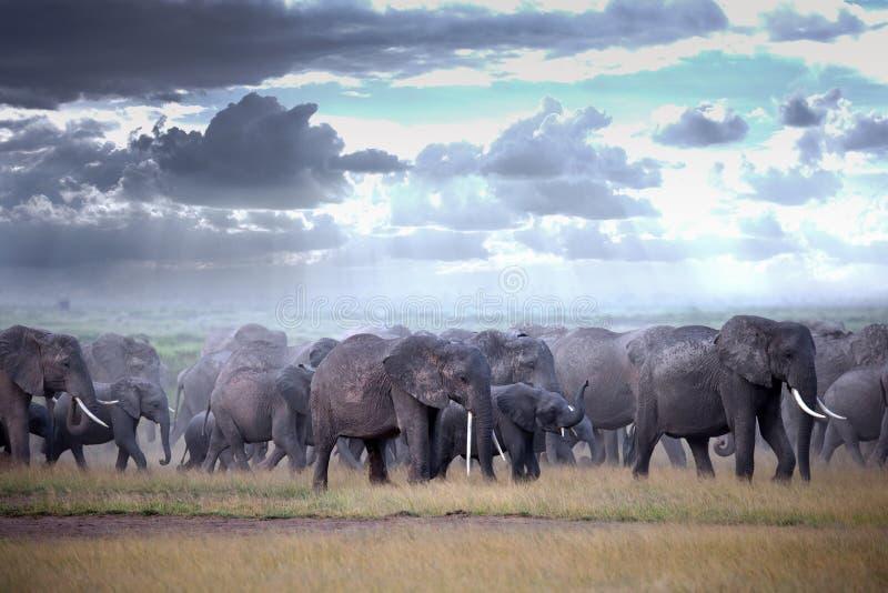 Elefantes de passeio do rebanho no savana africano fotografia de stock