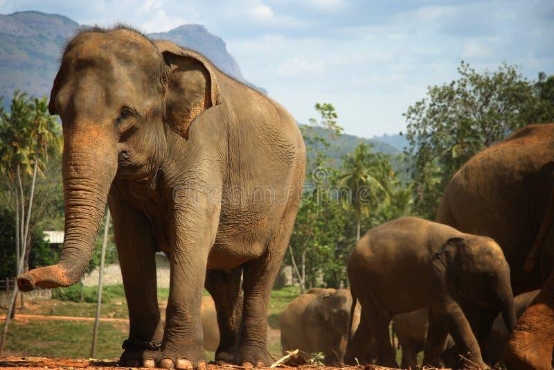 Elefantes de Pinnawela fotografia de stock