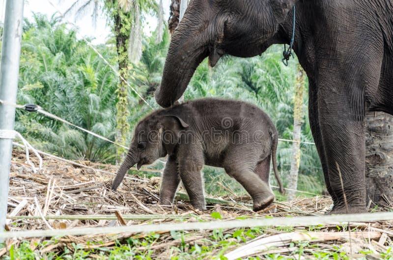 Elefantes de Sumatran em Sumatra Indonésia imagem de stock