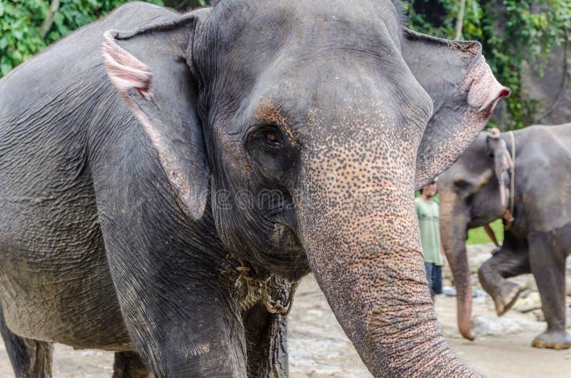 Elefantes de Sumatran em Sumatra Indonésia imagem de stock royalty free