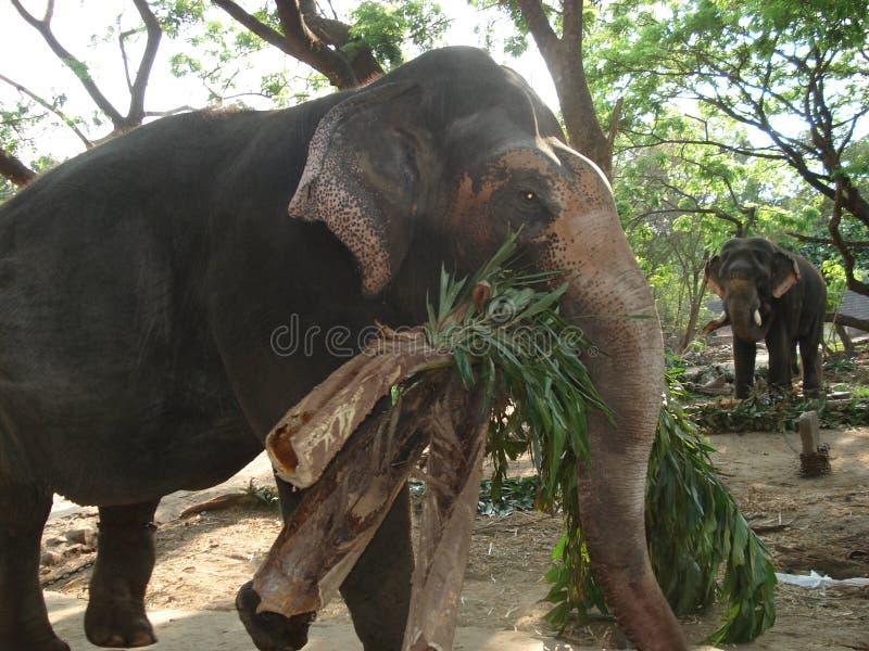 Elefantes de trabajo fotografía de archivo