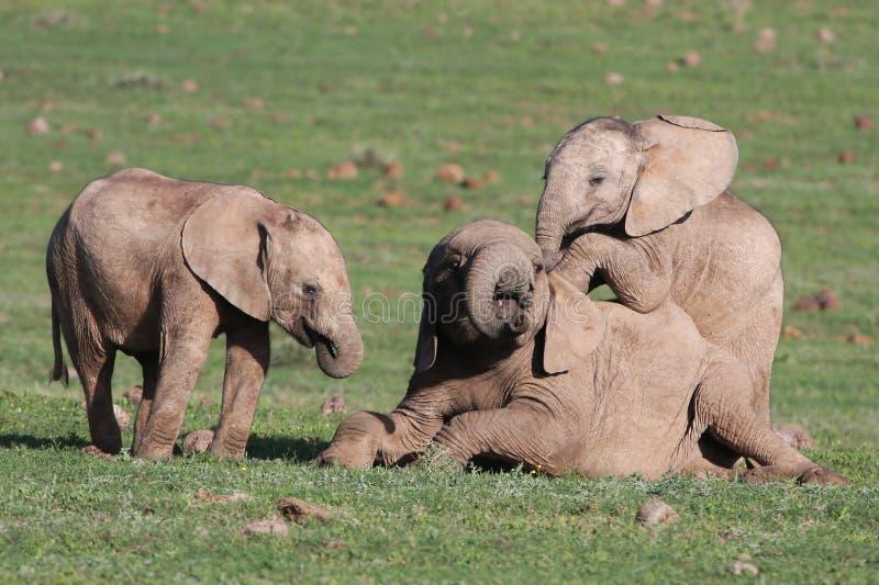 Elefantes del bebé que juegan a juegos imagen de archivo