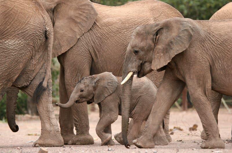 Elefantes del desierto en el campo de Twyfelfontein fotografía de archivo