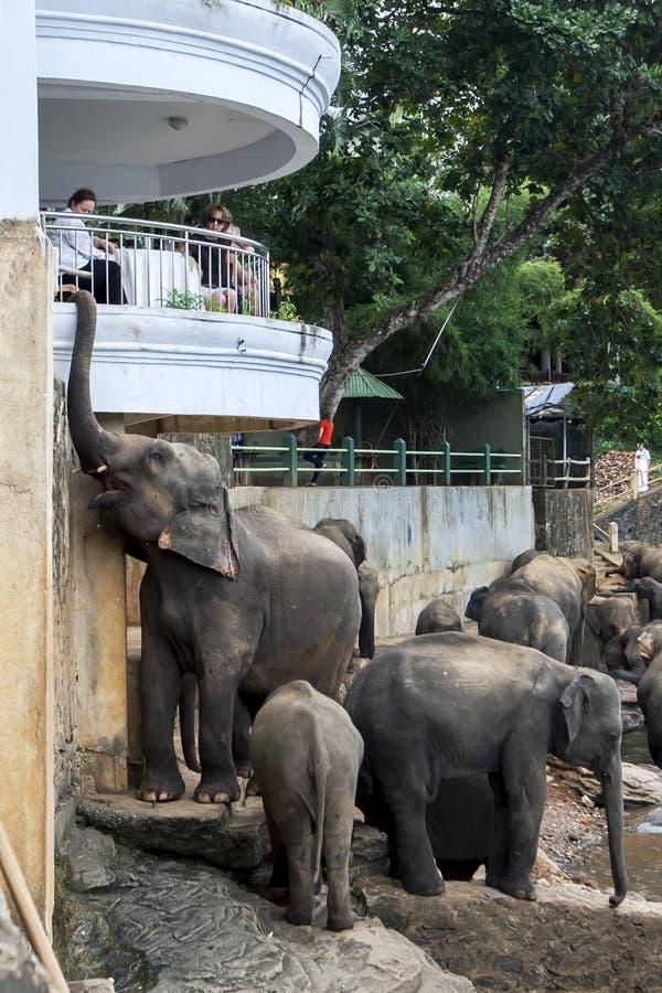 Elefantes del orfelinato del elefante de Pinnewala (Pinnawala) adyacente al río de Maha Oya en Sri Lanka foto de archivo libre de regalías
