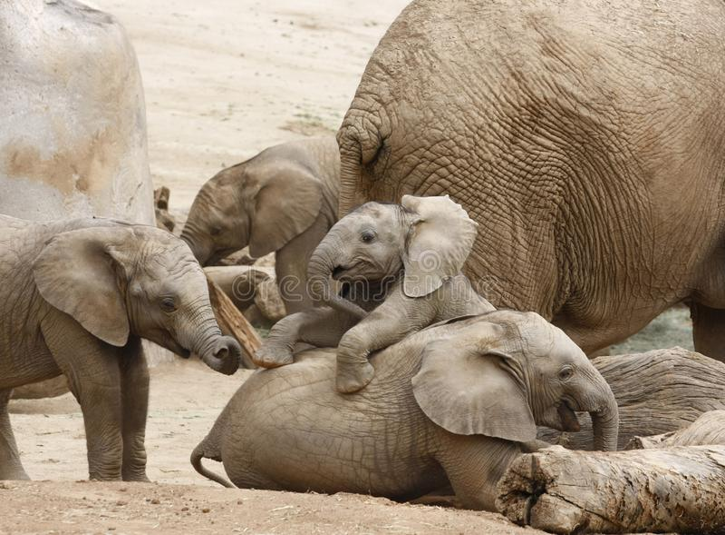 Elefantes do bebê que jogam com o rebanho no fundo imagens de stock