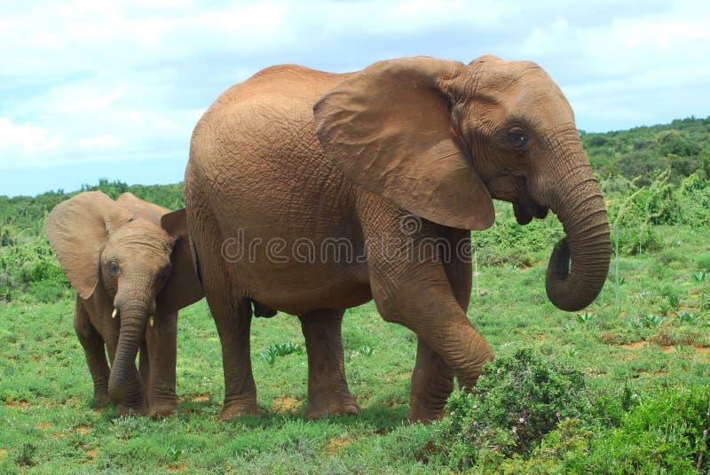 Elefantes em África foto de stock