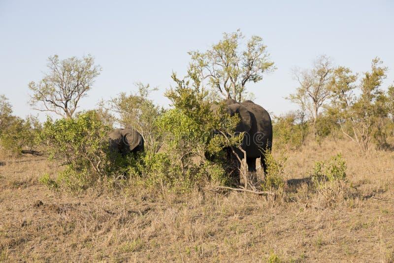 Elefantes em África do Sul fotos de stock royalty free