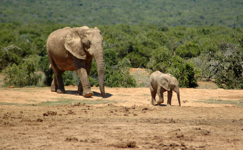 Elefantes em África do Sul imagens de stock royalty free