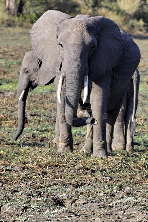 Elefantes em Luangwa sul fotos de stock royalty free
