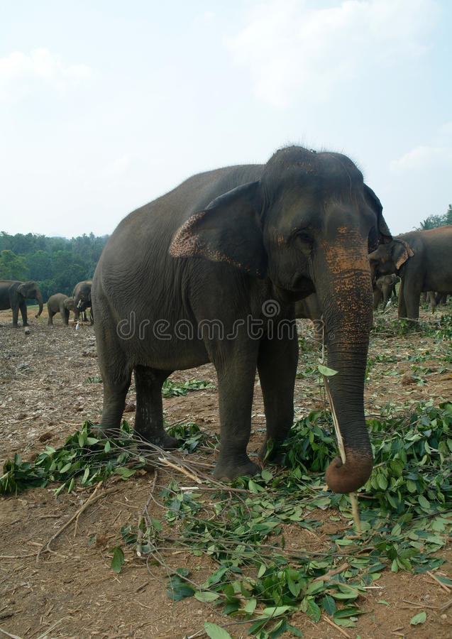Elefantes em Sri Lanka foto de stock