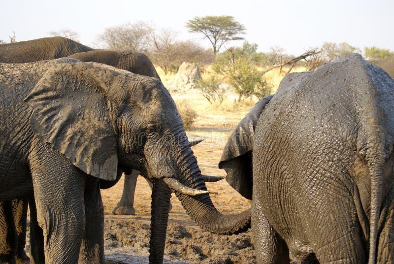 Elefantes em um furo molhando fotos de stock