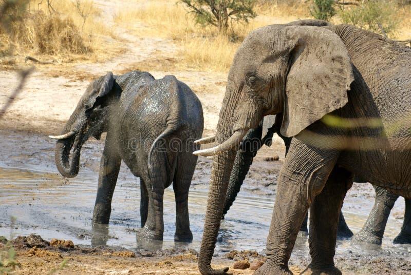 Elefantes em um furo molhando imagem de stock