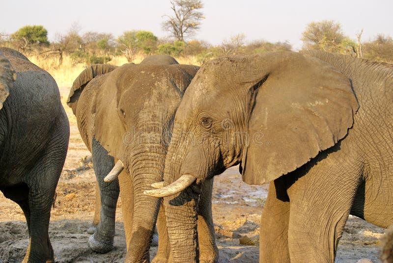 Elefantes em um furo molhando fotografia de stock royalty free