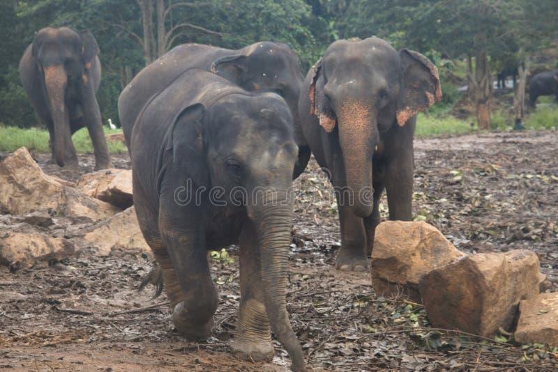 Elefantes em um orphenage em Sri Lanka foto de stock royalty free