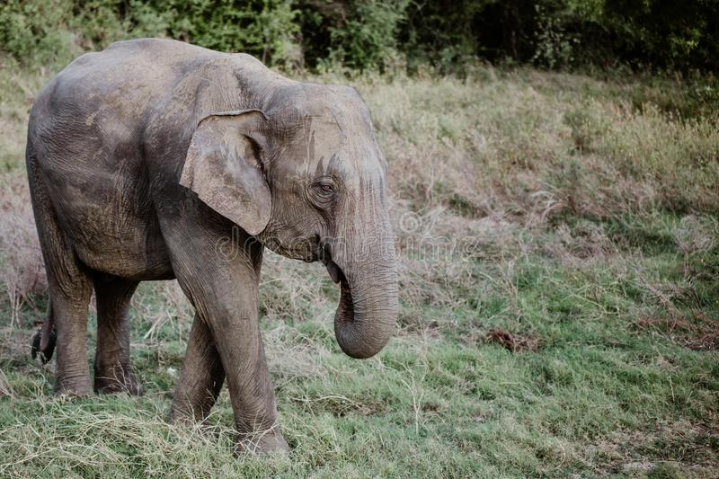 Elefantes em um parque nacional de Sri Lanka imagem de stock