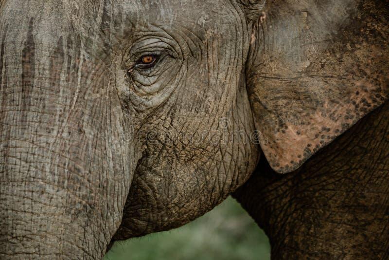 Elefantes em um parque nacional de Sri Lanka fotografia de stock