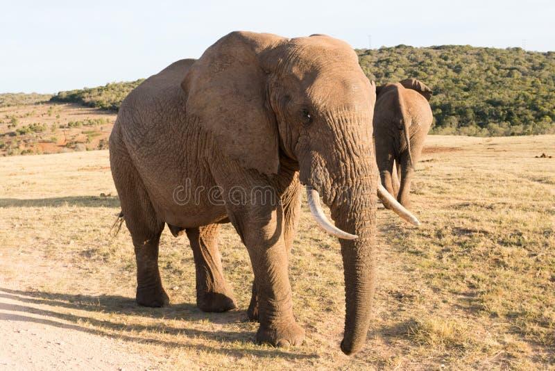 Elefantes en Addo Elephant National Park en Port Elizabeth - Suráfrica foto de archivo libre de regalías