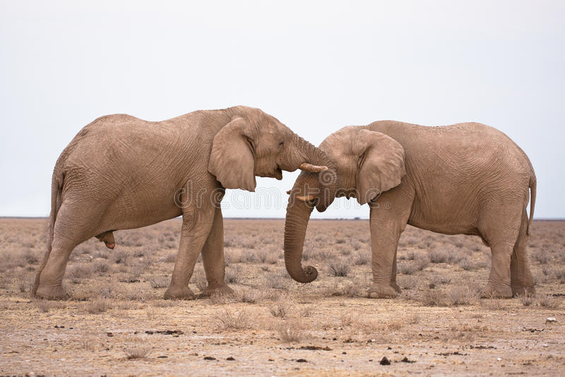 Elefantes en amor imagen de archivo