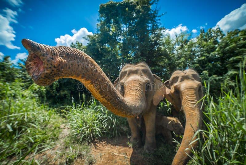 Elefantes en Chiang Mai en Tailandia foto de archivo