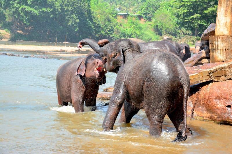 Elefantes en el orfelinato del elefante de Pinnawala, Sri Lanka fotos de archivo libres de regalías