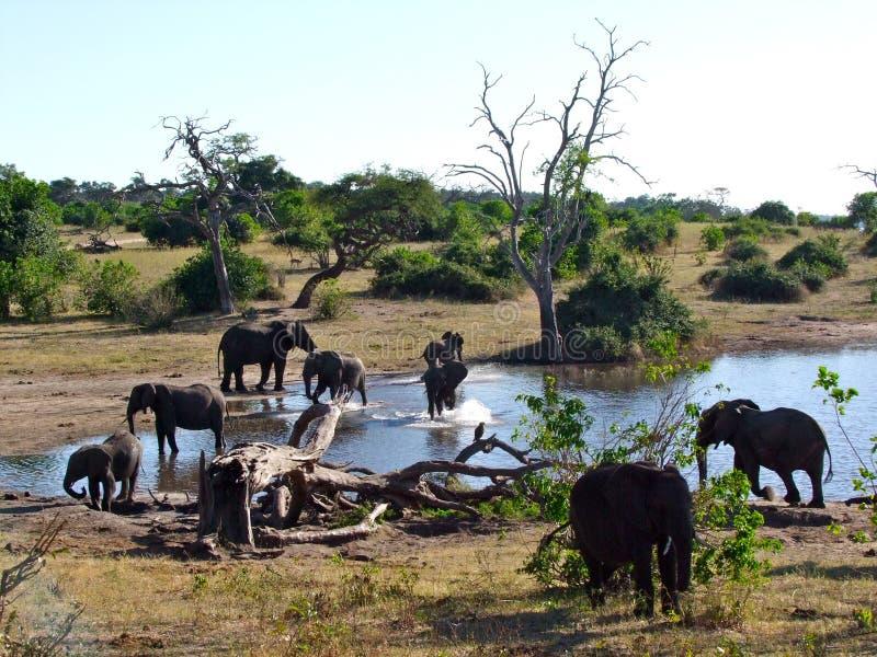 Elefantes en el parque nacional de Chobe fotografía de archivo libre de regalías