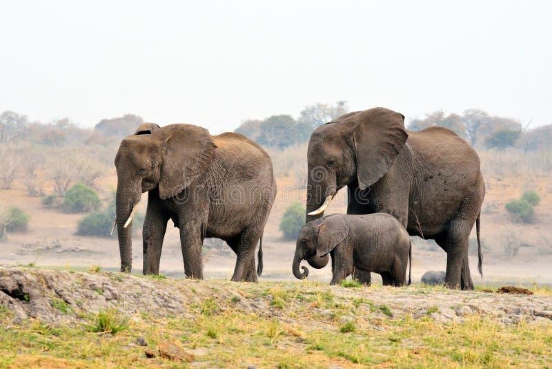 Elefantes en el parque nacional de Chobe, Botswana foto de archivo