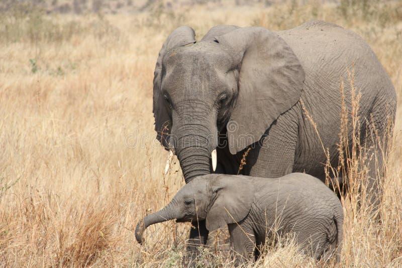 Elefantes en el parque nacional de Ruaha, Tanzania la África del Este fotos de archivo