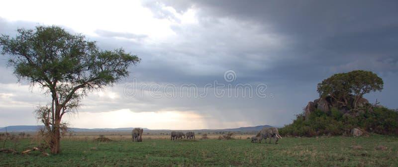 Elefantes en el parque nacional del serengeti, Tanzania imagenes de archivo