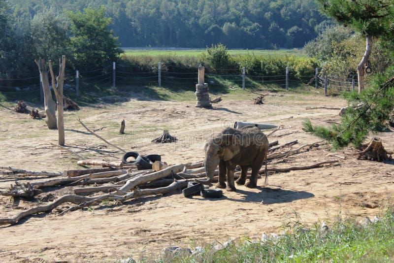 Elefantes en el PARQUE ZOOLÓGICO en Poznán, Polonia fotografía de archivo