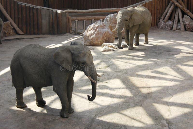 Elefantes en el PARQUE ZOOLÓGICO en Poznán, Polonia fotografía de archivo libre de regalías