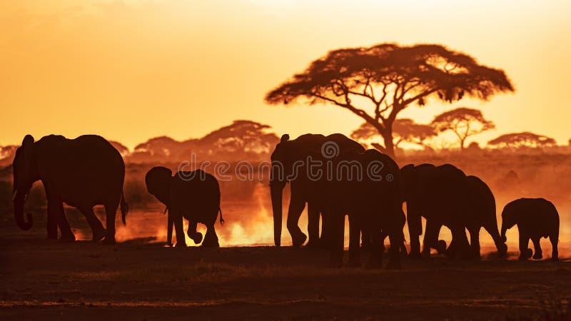 Elefantes en la puesta del sol en el parque nacional de Amboseli imágenes de archivo libres de regalías