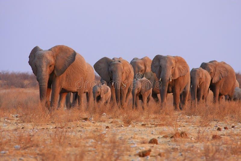 Elefantes en Namibia fotografía de archivo