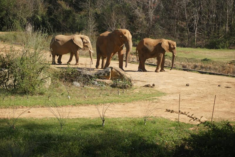 Elefantes en parque zoológico del nc fotografía de archivo libre de regalías