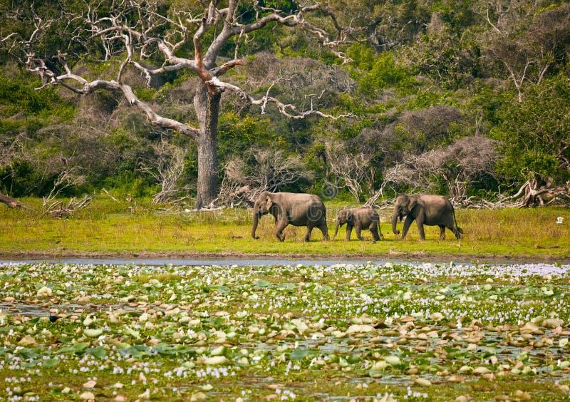 Elefantes en Sri Lanka imagenes de archivo