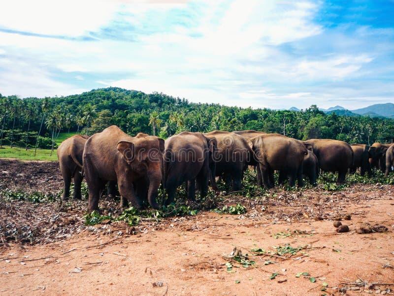 Elefantes en Sri Lanka, orfelinato del elefante de Pinnawala fotos de archivo libres de regalías